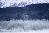 Bald Eagles, Haliaeetus leucocephalus, on snow covered trees in the Chilkat Valley. Alaska.