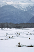 Bald Eagles in the Chilkat Valley in winter with snow covered mountains behind. Alaska.