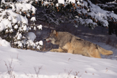 Gray Wolf, Canis lupus, male adult uses cover of tree shadows to travel around. Montana, USA.    CA.