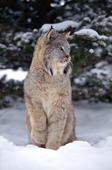 Lynx Canadensis. Predator of the boreal forest in winter snow. Montana. USA.