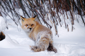 N.American Red Fox (Vulpes fulva) has snow on her face. Red foxes are moving into the Arctic where they compete with the resident Arctic Foxes. Montana, U.S.A.