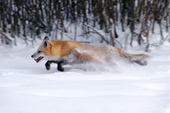 N.American Red Fox (Vulpes fulva) running through snow Red foxes are moving into the Arctic where they compete with the resident Arctic Foxes. Montana, U.S.A.