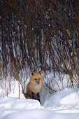 N.American Red Fox (Vulpes fulva) in snow. Red foxes are moving into the Arctic where they compete with the resident Arctic Foxes. Montana, U.S.A.