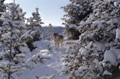 Gray Wolf. Adult male stands amongst snow covered spruce. Montana. USA.