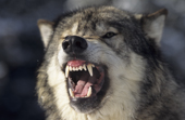 Male Grey Wolf snarls showing his powerful jaws and teeth. Montana. USA.