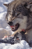 Gray Wolf. Adult male defending his food with a  snarl. Montana. USA.