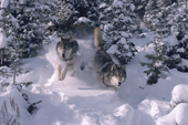 Gray Wolves, Canis lupus. Running through deep snow & Spruce trees. Montana, USA