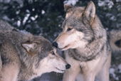 Gray Wolf, Canis lupus, Alpha male with subservient pack member. Montana, U.S.A.