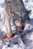 Gray Wolf, Canis lupus, male adult snarls to defend his meal. Montana, U.S.A.