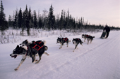 A team of huskies in tandem hitch run by the edge of boreal forest. Churchill, Manitoba, Canada.