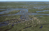 Caribou migrating across the tundra in summer. Hudson Bay Canada.
