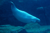The Beluga whale a resident of Arctic waters can grow to 5 metres in length.