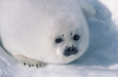 White coated baby Harp Seal on the sea ice. Canadian Maritimes. Canada.