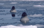 Adult Harp Seals hang out in the pack ice. Canadian Maritimes. Canada