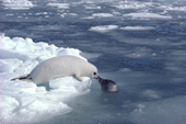 Harp seal pup on the sea ice anxiously watches its mother in the water. Canadian Maritimes.Canada.