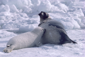 Harp seal pup on the sea ice nurses from its mother. Canadian Maritimes.