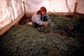 A Cree woman, Elizabeth Brien, lays spruce twigs on the tent floor at a bush camp. Quebec, Canada. 1988