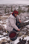Cree woman, Elizabeth Brien picking cranberries near her camp in the autumn. Quebec, Canadian subarctic. 1988