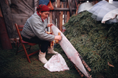 Cree woman, Elizabeth Brien, cleaning an otter skin which has been stretched. Quebec, Canada. 1988