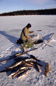 Billy Edwards, Cree hunter with catch of white fish & Suckers.His fishing net is set under ice. Quebec, Canada. 1988