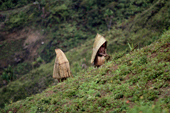 Yali women gardening under pandanus leaf capes. irian Jaya. Indonesia. 1990