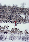 Sami woman herder, Berit Logje with her reindeer herd before spring migration. Kautokeino. North Norway. 1985