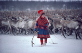 Sami woman reindeer herder, Berit Logje with cast antler at round-up near Kautokeino. Northern Norway. 1985