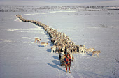 Reindeer herder, Johan Henrik, on skis leads his herd on the spring migration Kautokeino, N.Norway. 1985