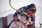 Sami herder, Johan Henrik, harnesses a reindeer to pull a sled on the migration. North Norway. 1985