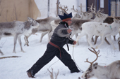 Wearing a traditional hat, Sami Reindeer herder from Karasjok lassoeing reindeer. Sapmi, Karasjok. N. Norway. 2000