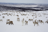 A herd of reindeer grazing at their winter pastures on the tundra near Kautokeino. Finnmark, North Norway. 2007
