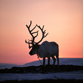 Bell Reindeer with antlers silhouetted at sunset. Spring Migration. Finmarksviida. Norway. 1972