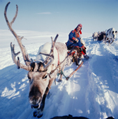 Karen-Anna Logje, a Sami woman drives her reindeer sled on the spring migration. Northern Norway. 1972