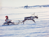Berit Logje drives a winning circuit. Easter Reindeer Racing. Kautokeino. Norway. 1972