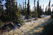 A carpet of reindeer moss covers the boreal forest floor in Southern Labrador. CANADA. 1997