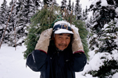 At an autumn Innu hunting camp,Pinip, carries spruce branches to cover a tent floor. Labrador, Canada. 1997