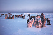 Inuit hunters untangling the traces of their huskies whilst out polar bear hunting. N.W. Greenland. 1980