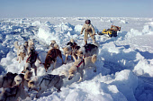 Inuit hunter with dogs and sled crossing over pressure ice, whilst out on a hunting trip. N.W. Greenland. 1980