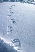 Polar Bear tracks in snow, on the sea ice of Melville Bay. Northwest Greenland. 1980