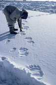 Fur dressed Inuit hunter checks Polar bear tracks on sea ice in Melville Bay. N. Greenland. 1980
