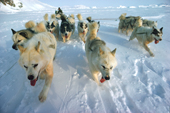 A team of huskies, in fan formation, pulling a dog sled over frozen sea ice. Northwest Greenland. 1980