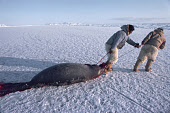 Inuit hunters on sea ice, hauling a bearded seal they have caught at its breathing hole. Northwest Greenland. 1980