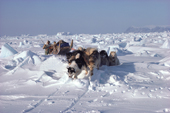 An Inuit hunter, Jens Danielsen, travelling by dog sled over rough pressure ice. N.W.Greenland. 1986