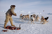 An Inuit hunter, Ituko, feeds raw seal meat to his dogs. N.W. Greenland. 1986
