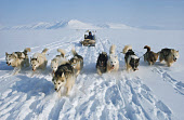 Inuit hunter with his team of huskies pulling a dog sled. NW. Greenland. 1977