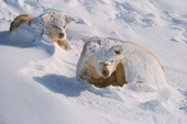 Snow covered huskies wake after a storm. They curl up and sleep as snow covers them. Northwest Greenland. 1977