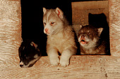Young husky puppies in their kennel.Thule, Northwest Greenland. 1998