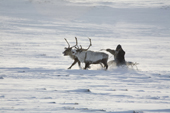 A Chukchi reindeer herder travelling back to his winter camp by reindeer sled. Chukotskiy Peninsula, Chukotka, Siberia, Russia