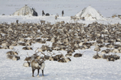 A reindeer herd at a Chukchi herders' winter camp on the tundra. Chukotskiy Peninsula. Chukotka, Siberia, Russia