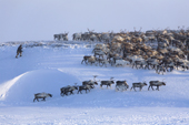 A Chukchi man driving a herd of reindeer along a ridge near their winter pastures on the Chukotskiy Peninsula. Chukotka, Siberia, Russia